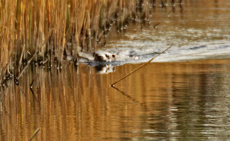 Otter at Drewer Hide today